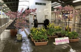 河津桜まつり。こちらは伊豆急下田駅の河津桜です