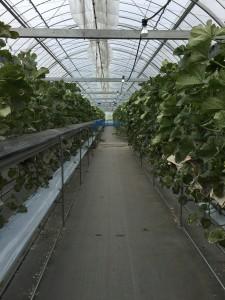 伊豆のメロン農園 ビニールハウス