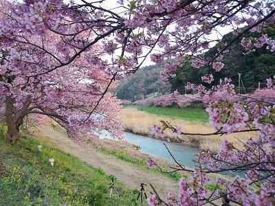 青野川で河津桜のおまつり、みなみの桜と菜の花まつり