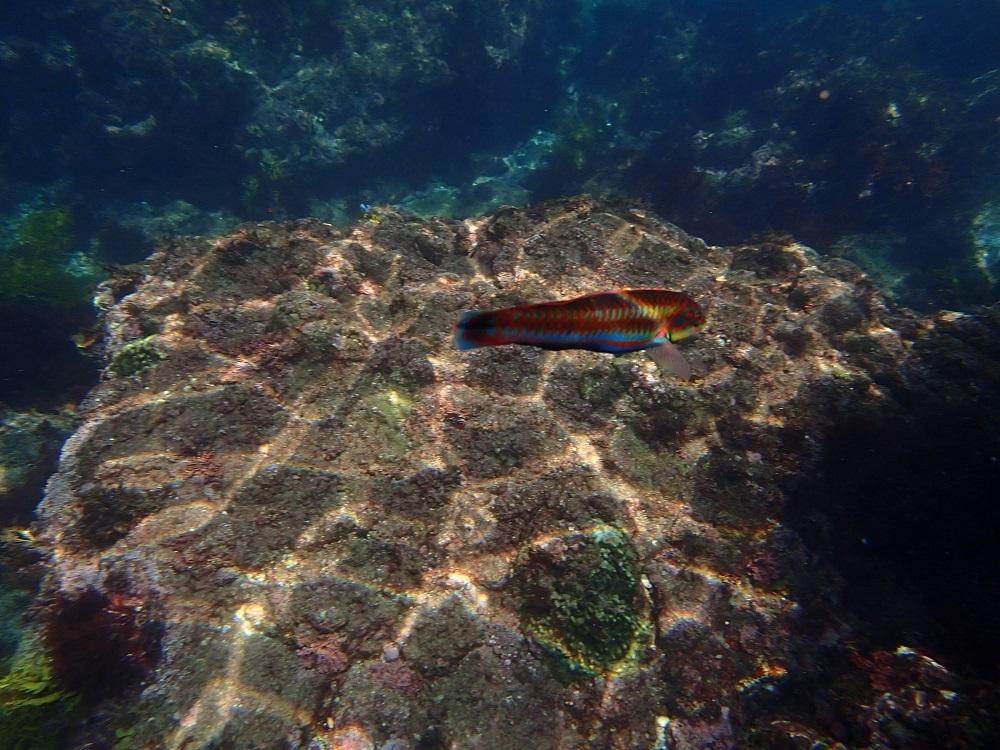 ヒリゾ浜では、熱帯魚のようなカラフルで大きな魚も真近で見れます