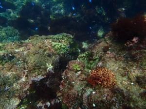 ヒリゾ浜の青い回遊魚
