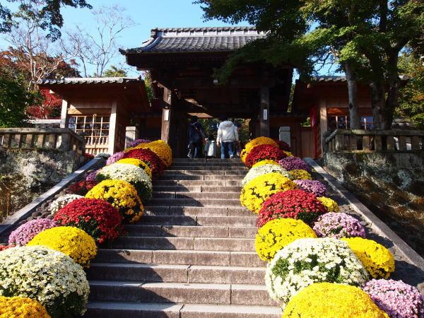 修禅寺の菊