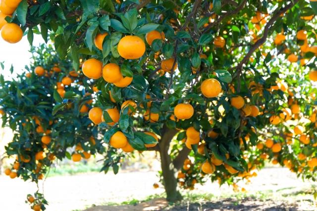 izu-tangerinefarm03