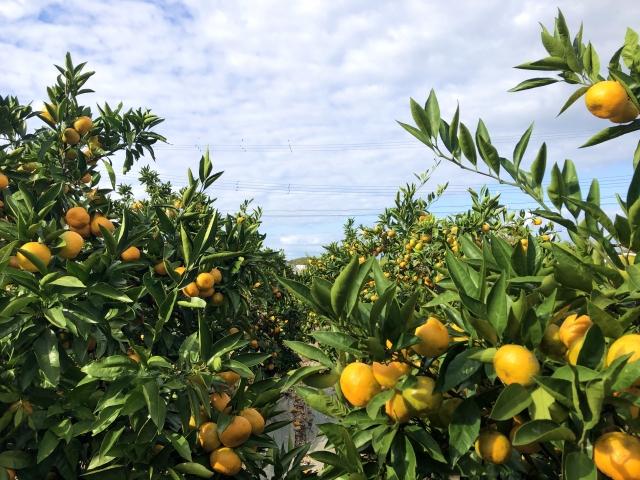 izu-tangerinefarm05