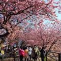 河津桜まつりの様子
