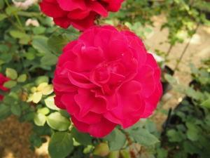 河津バガテル公園、バラ販売所にあるバラ01