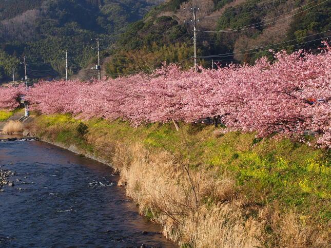 kawazuzakura01