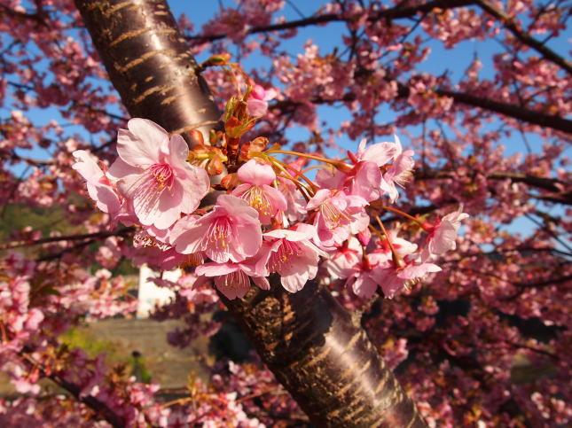 枝にかわいく咲く河津桜