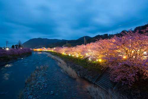 河津川沿いに咲く河津桜のライトアップ