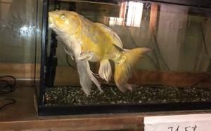 下田 金谷の鯉 白い鯉 すごい高価そう・・・