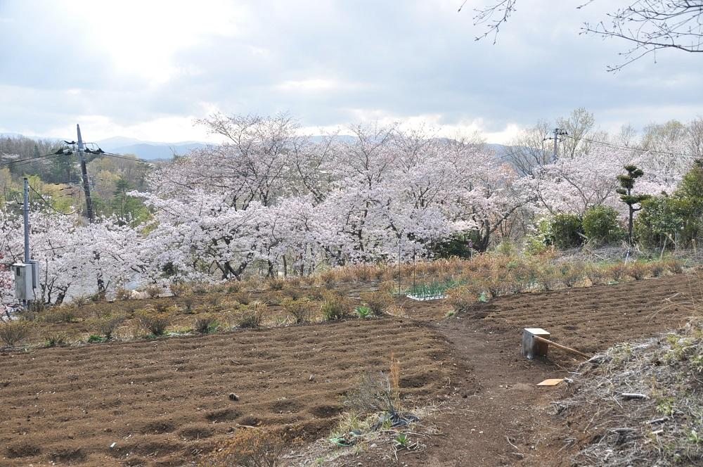 sakura-forest