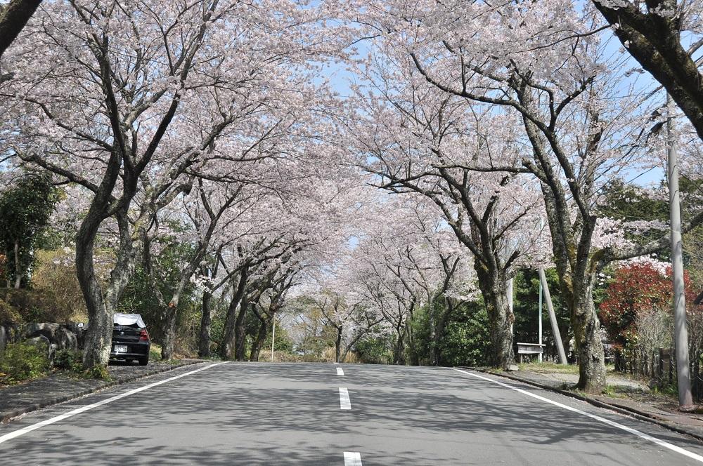 sakura-tunnel-forest