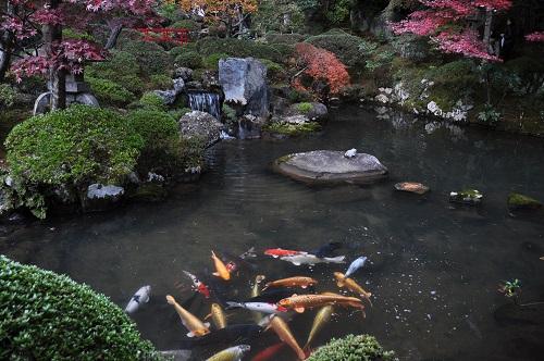 美しい鯉が泳いでいる姿はとても優雅です