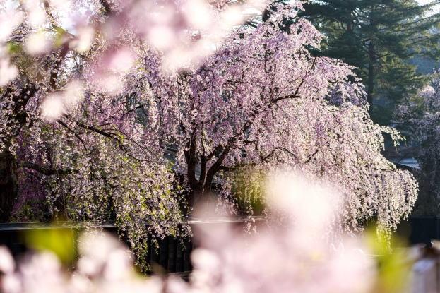 伊豆/修善寺-2017年桜-枝垂れ桜