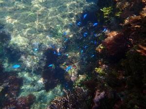 ヒリゾ浜、間近で熱帯魚を撮影可能です。