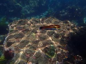 ヒリゾ浜、熱帯魚が目の前を通過