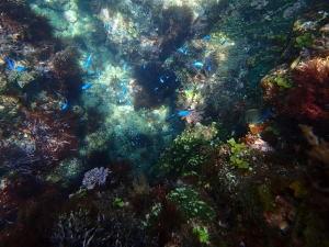 ヒリゾ浜、熱帯魚の群れ