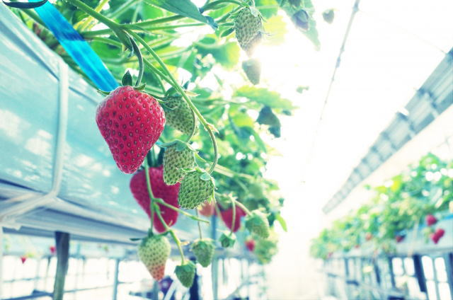 strawberry09