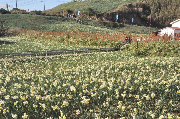 水仙まつりに咲く水仙とアロエの花のコラボ