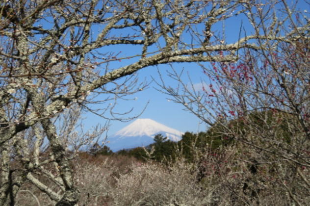 修善寺梅まつり/富士山とのコラボレーション