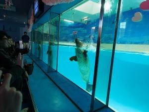 下田海中水族館・アザラシショー、手を振る