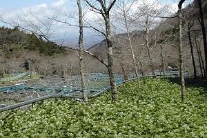 わさび田。透明で綺麗な水が必須のわさび栽培。天城連山に適しています。