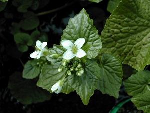 わさびの花。白く可憐なお花ですね。