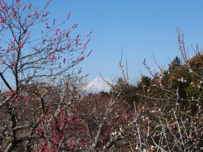 修善寺梅林と富士山